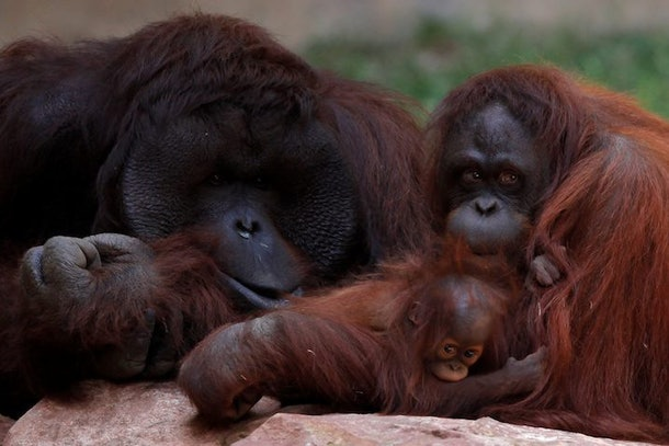 There's Now 'Tinder For Orangutans,' And It's The Cutest ...