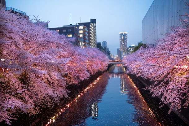 The streets of Meguro in Tokyo, Japan are illuminated with pink cherry blossom trees and small skyscrapers.