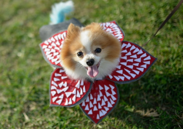 A little dog, dressed as demogorgon from 'Stranger Things' for Halloween, plays in the park.