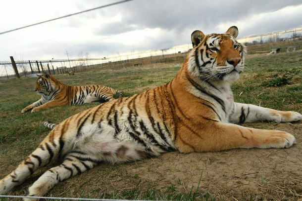 "Tigers held in captivity is a huge problem in the united states, brought to light by the docuseries ""Tiger King"""