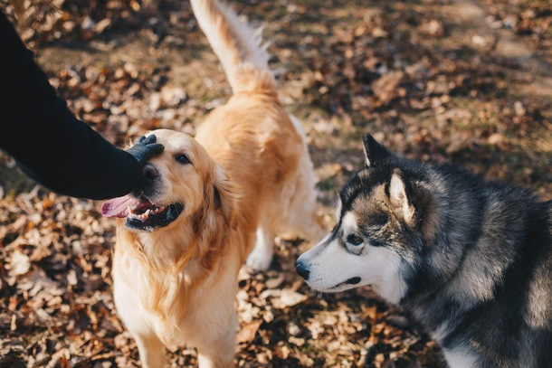 A golden retriever and husky hang out on a hiking trail in fall and get pet by their owners.