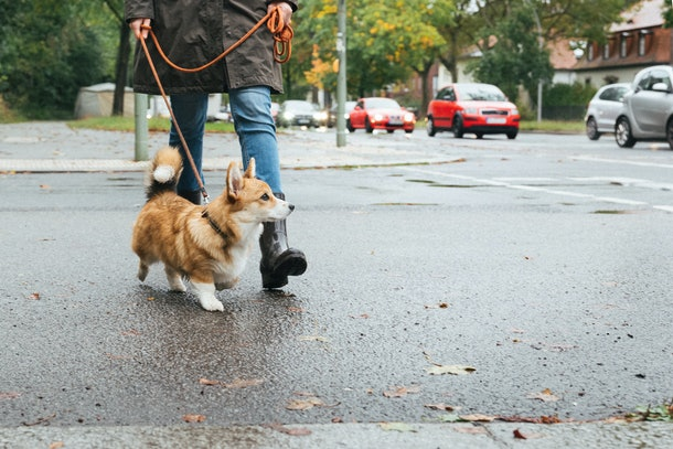 A young woman walks her new corgi puppy on a rainy day.