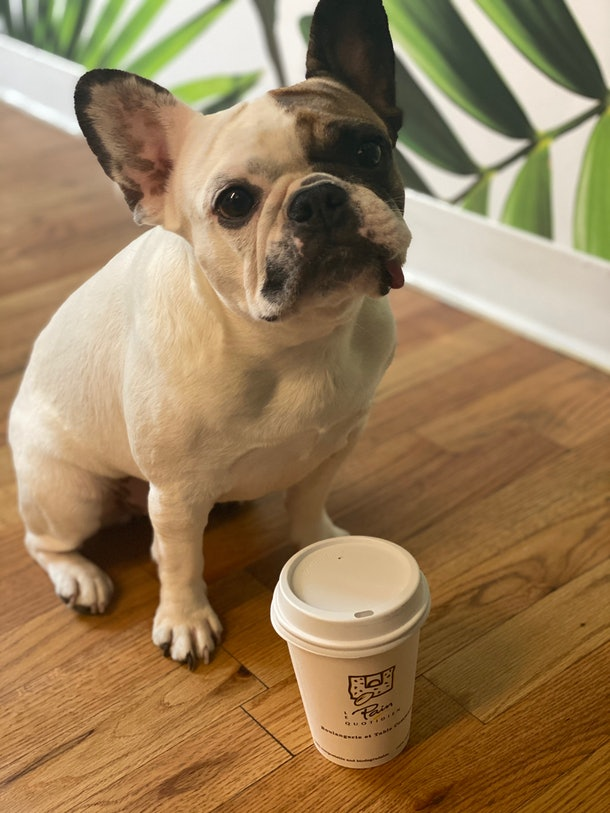 A french bulldog standing next to Le Pain Quotidien's PAWmpkin Spiced Latte.