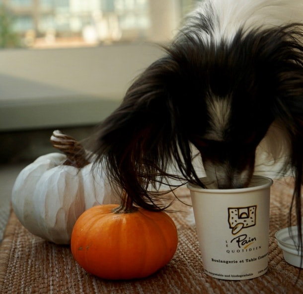 A dog drinking Le Pain Quotidien's PAWmpkin Spiced Latte next to some pumpkins.
