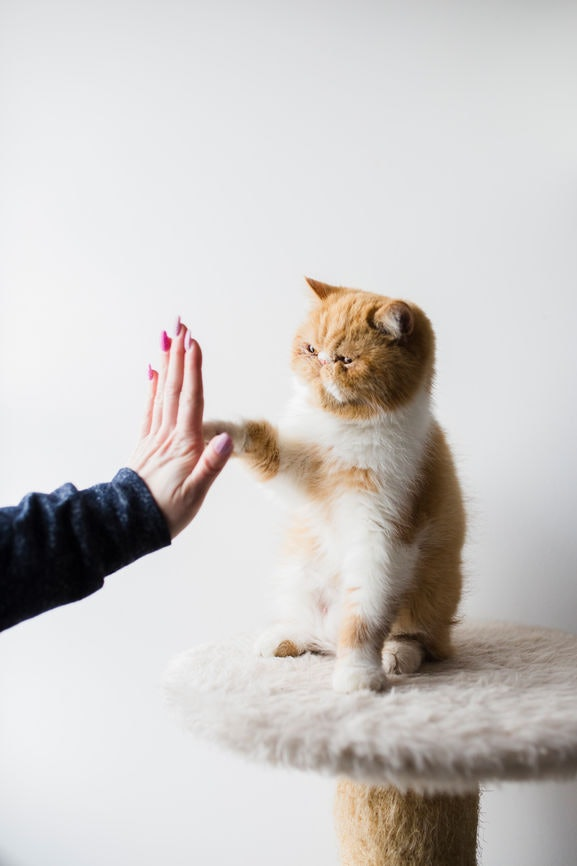 Using human cues with your pet cat has its perks.