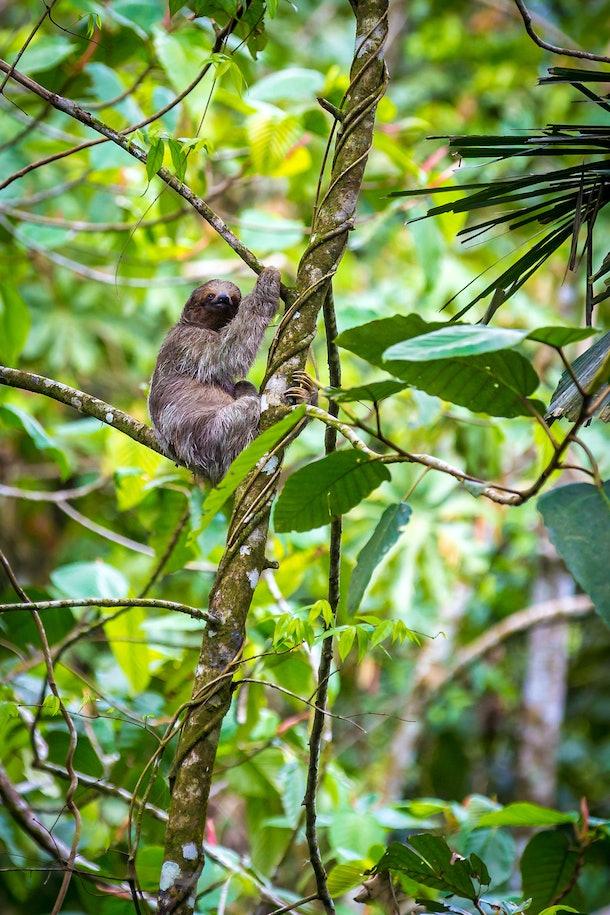 A sloth at Nayara Tented Camp hangs out in a tree.