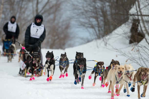 dogsledders with their teams of racing dogs