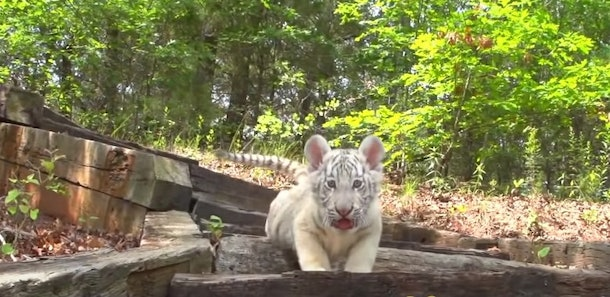 Here are the best 'Tiger King' Zoom backgrounds include the cutest tiger cubs.