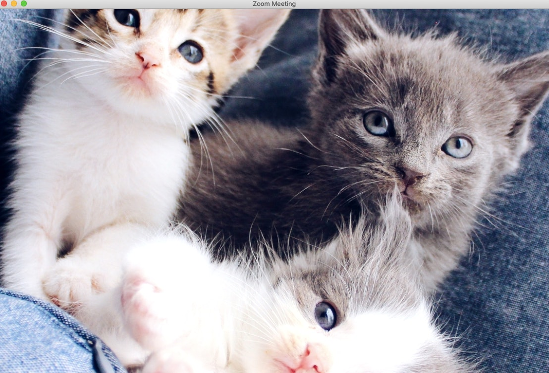 16 Cat Zoom Backgrounds That Are Purrfect For Your Next Video Chat Showcelnews Com