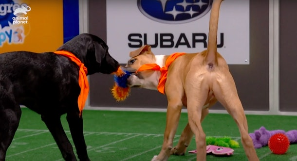 Two dogs tug on a toy in the preview for Puppy Bowl 2021.