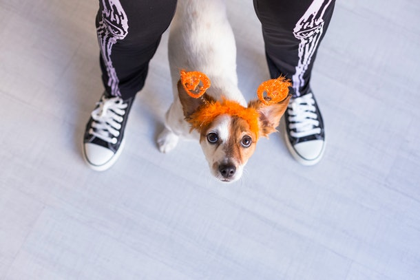 Top view of a young woman wearing skeleton pants with her small dog wearing pumpkin ears is a cute pose for a Halloween picture.