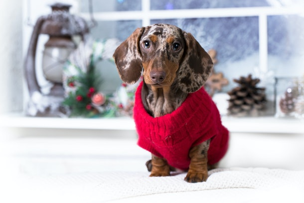 A dachshund puppy wears his red holiday knitted sweater.
