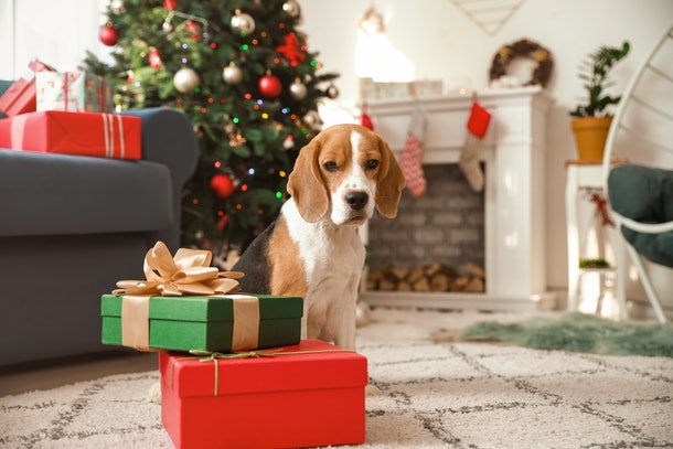 A cute dog stands next to Christmas presents on the floor.
