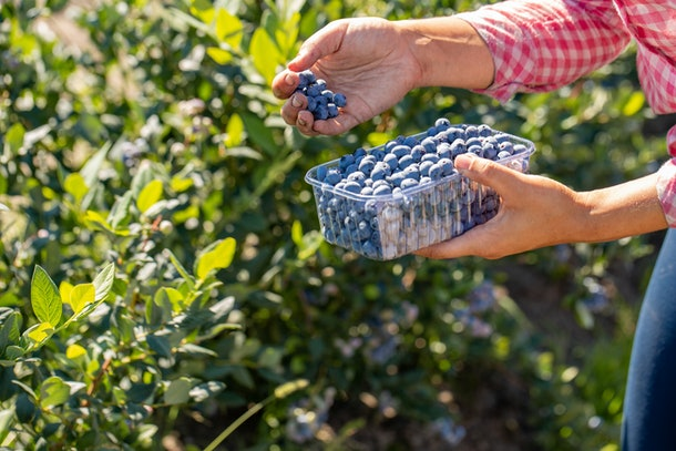 Woman collecting blueberries. professional harvest of berries
