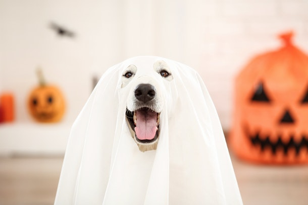 Swiss shepherd dog in halloween costume and pumpkin sitting at home