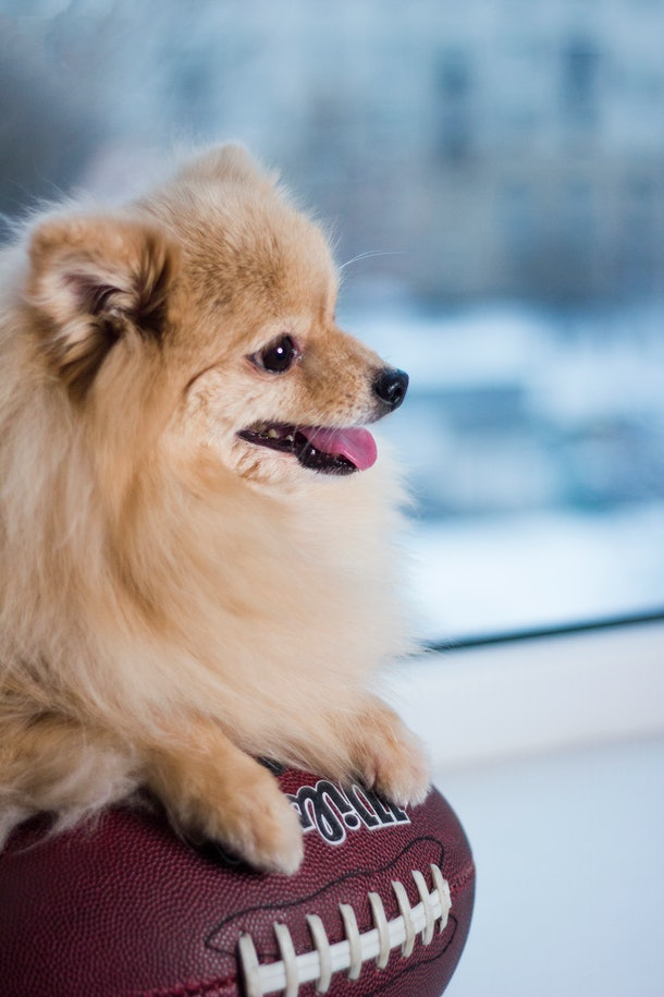 A fluffy Pomeranian puppy sits with a football in an indoor sports venue.