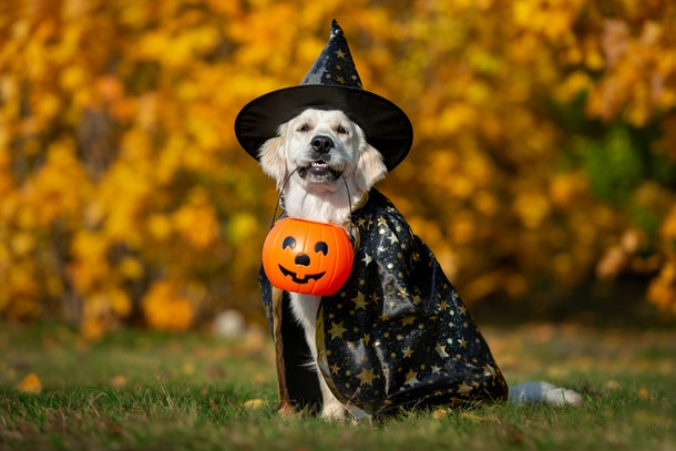 golden retriever dog in a costume posing for Halloween outdoors