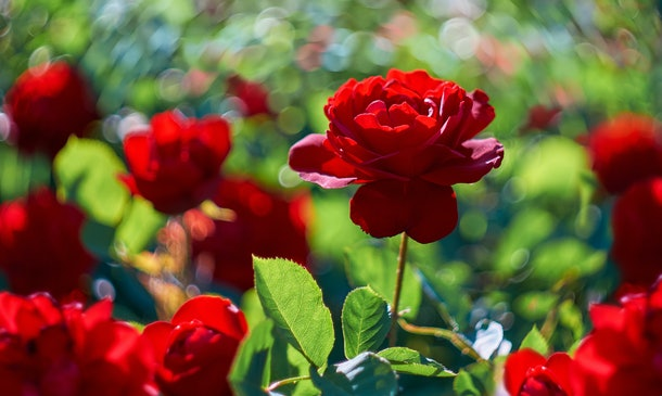 Red rose flower blooming in roses garden on background red roses flowers.