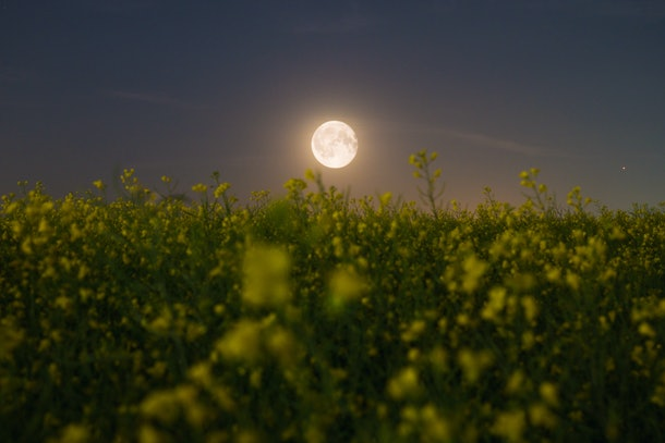 A full moon is over a field of yellow flowers at dusk.