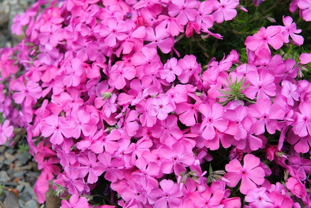 Wild Ground Phlox flowers cover the ground in the spring.